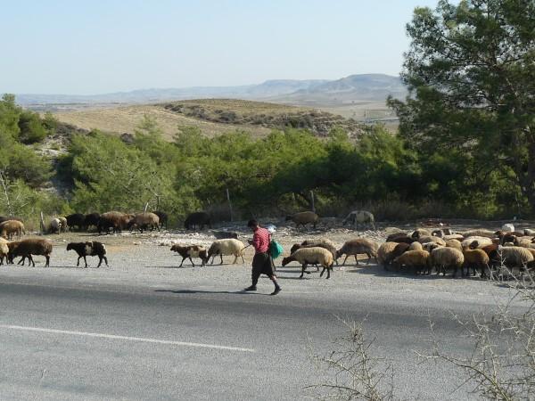 texting shepherd